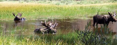 Moose relaxing in a little pond